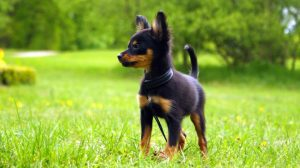 Small dog breeds - Russian Toy