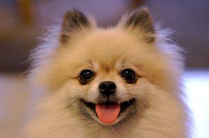 Small dog breeds - Pomeranian