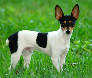 Small dog breeds - Toy Fox Terrier