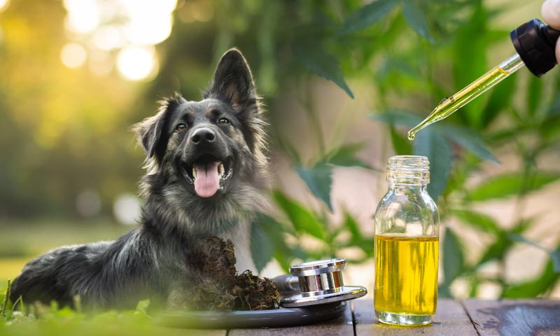 Where to Find and Purchase CBD Oils for Your Dog