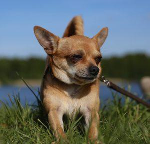 Small dog breeds - Chihuahua