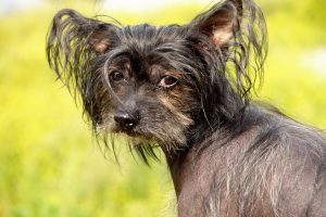 Small dog breeds - Chinese Crested