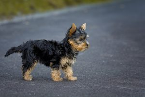 Small dog breeds - Yorkshire Terrier