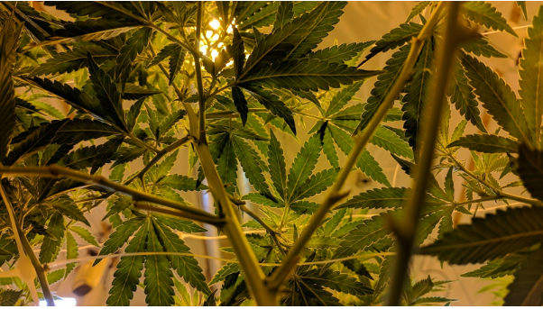 Should You Grow Your Own Marijuana for Medical Purposes?