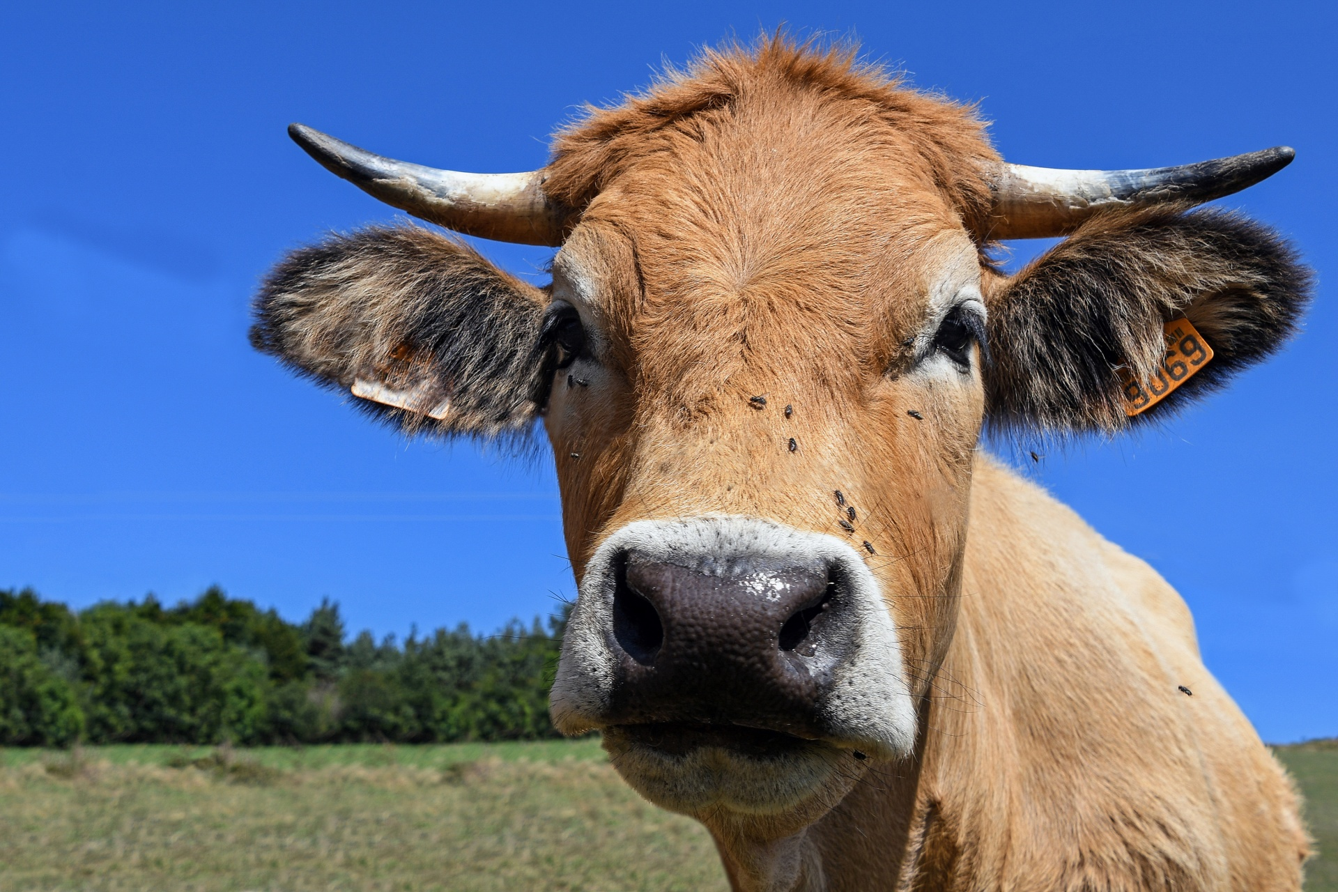 Breeds of Cow – The Best Ones for Milk and Meat Around the World