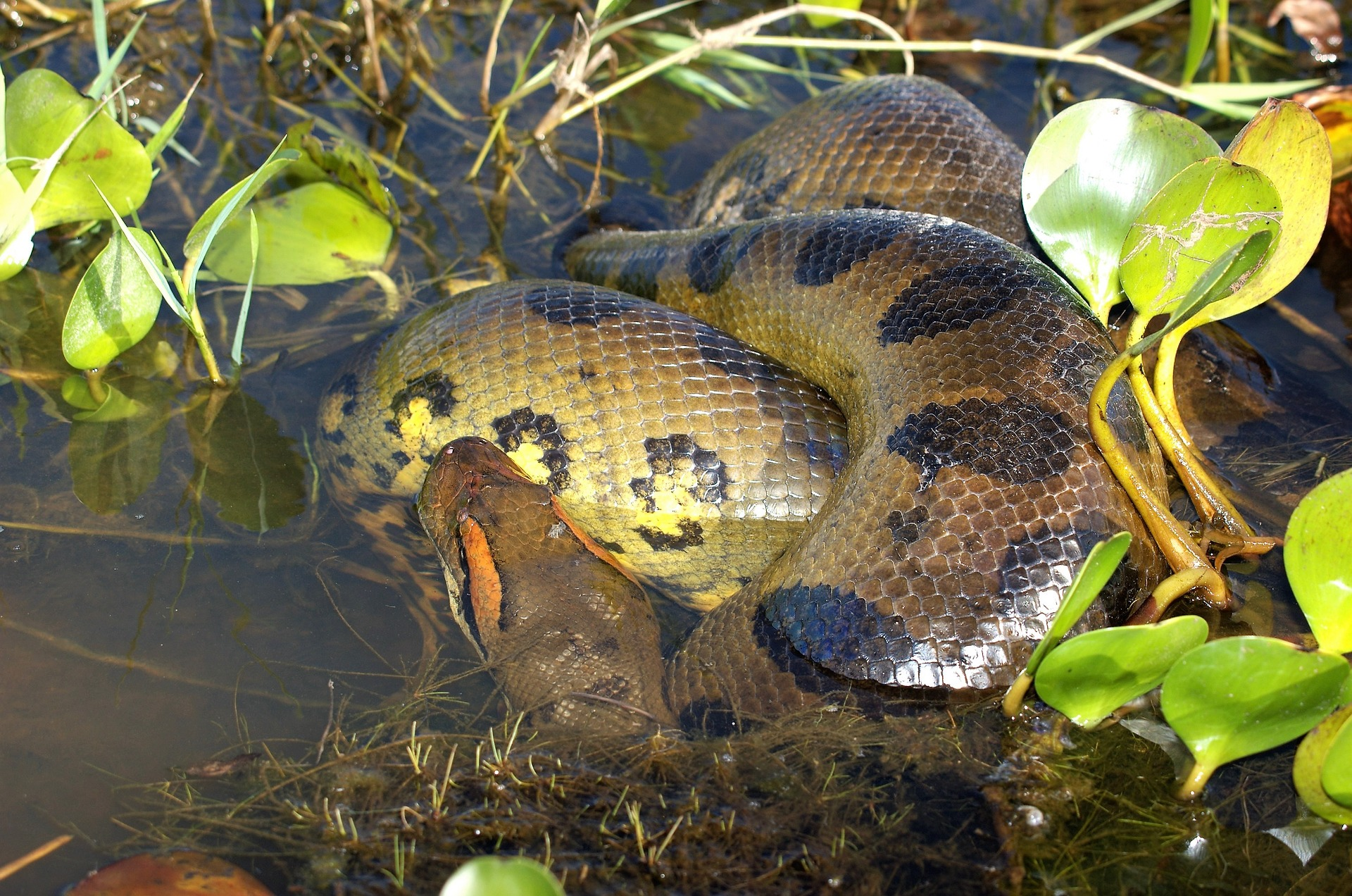 Biggest Snake in the World: Green Anaconda vs. Reticulated Python